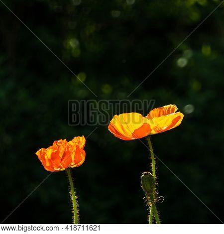 Two backlit orange poppies against dark background