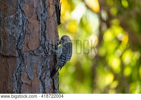 Red Bellied Woodpecker Melanerpes Carolinus Bird Pecks At A Pine Tree In Search Of Insects To Eat In