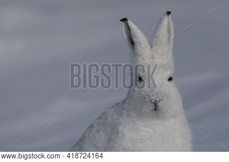 Close-up Of An Arctic Hare, Lepus Arcticus, Found In The Snow Covered Tundra, Staring Off Into The D