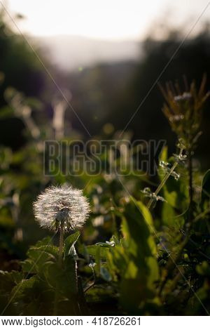 Dandelion Or Taraxacum Officinale Closeup In Little Sunlight