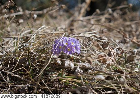 Closeup Picture Of Small Drumstick Primrose Or Primula Denticulata Growing In Yellow Grass