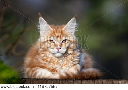 Red spotted Maine Coon kitten looking at camera. Cat resting on stump. Kitten 3 months old.