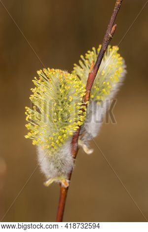 Willow Buds In Spring Closeup