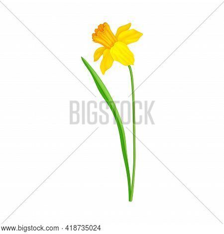 Narcissus As Spring Flowering Perennial Plant With Yellow Flower And Leafless Stem Closeup Vector Il