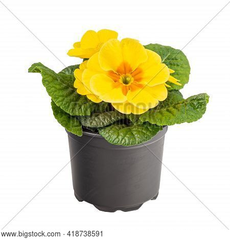 Blossoming Yellow Primrose Or Primula Vulgaris In Flower Pot Isolated On White Background