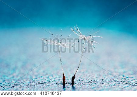 Beautiful Dew Drops On A Dandelion Seed Macro. Beautiful Soft Background. Water Drops On A Parachute