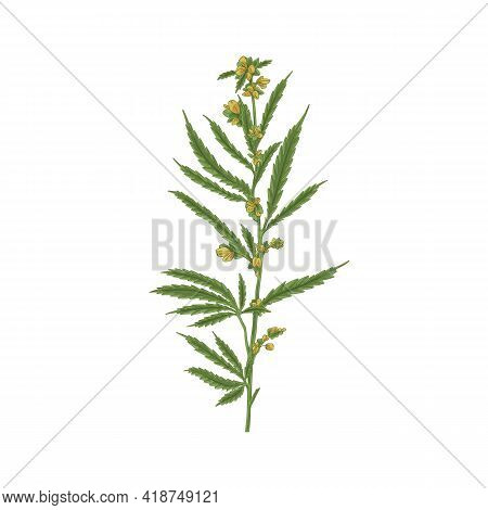 Blooming Cannabis Plant With Leaf. Hemp Or Marijuana Stem With Leaves And Blossomed Flower Buds. Han