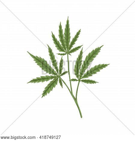 Cannabis Plant With Leaf. Marijuana Or Hemp Branch With Leaves. Vintage Botanical Art. Realistic Han