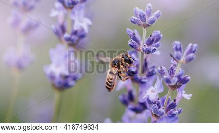 Pollination With Bee And Lavender With Sunshine, Sunny Lavender.