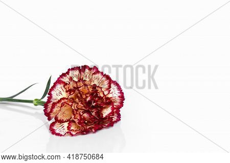 Red Variegated Carnation On A White Background. Postcard. Place For Your Text. Copy Space.
