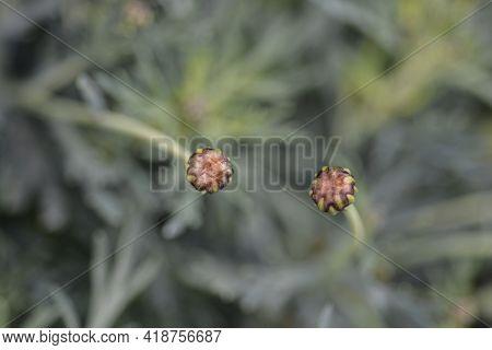 Marguerite Daisy Flower Buds - Latin Name - Argyranthemum Frutescens