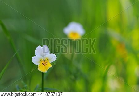 Field Violet Grows In The Meadow. Small Delicate White-yellow Flower On A Green Background. Wild For