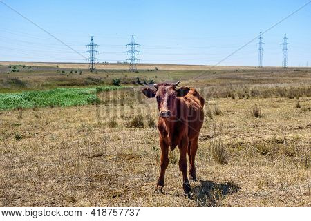 Young Bull Exploring Life Near Pasture & Posing Before Camera. Background Is Half-rural & Half-indus