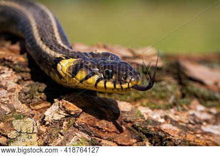 Grass Snake Crawling On Bark Of A Tree Trunk And Sticking Out Its Tongue