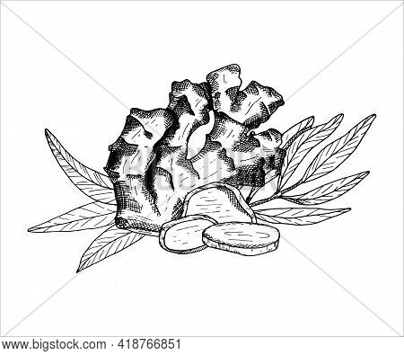 Ginger Plant Arrangement. Outline Vector Illustration With Ginger Root, Leaves And Slices. Hand Draw
