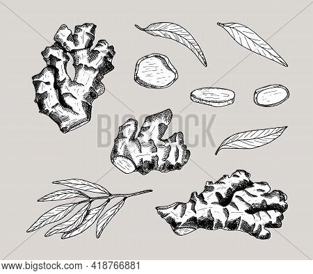 Ginger Root Outline Vector Set. Hand Drawn Ginger Plant With Leaves And Cut Slices. Black Contour Wi