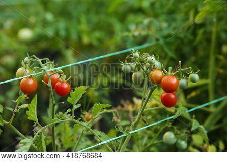 Tomatoes Ripening On Bush In Kitchen Garden