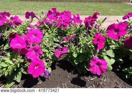Florescence Of Magenta Colored Petunias In Mid June