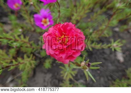 Double Red And Pink Flowers Of Portulaca Grandiflora In August