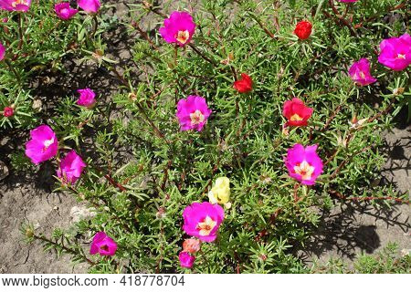 Magenta Colored, Yellow And Red Flowers Of Portulaca Grandiflora In July