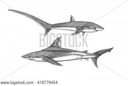 Thresher Shark And Atlantic Bull Shark Or Mackerel Porbeagle Predator. Marine Animal. Sea Life. Hand