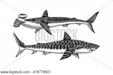 Great Hammerhead And Tiger Shark. Marine Predator Requiem Animal. Sea Life. Hand Drawn Vintage Engra