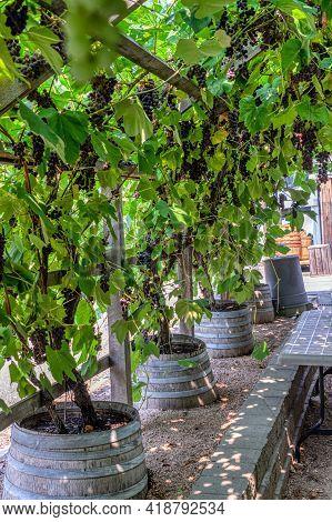 Vine Yard Half-house Covered With Black Vine Plants