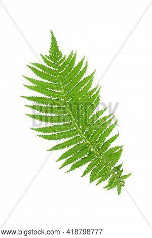 Fern Leaf Isolated On White Background. Fern Leaf, Ornamental Foliage, Fern Isolated On White Backgr