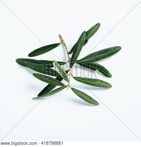 Olives Tree Branch On White Background. Fresh Green Olive Leaves On Branch Isolated On White With Cl