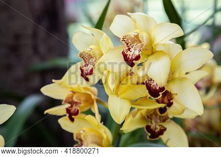 Cymbidium Orchid In Spring, Spring Background. Spring Composition, Spring Card, Colorful Spring Back