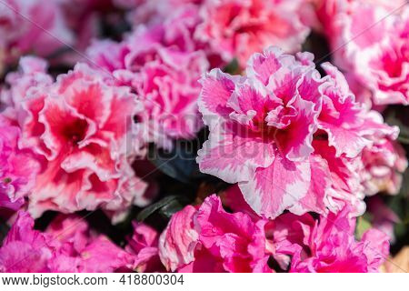 Rhododendron Flower In Spring, Spring Background. Spring Composition In Soft Tones, Spring Card, Col