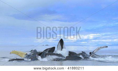 Bubble Netting Humpback Whales