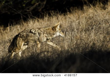 Coyote Hunting In The Prairie Grass Of Southern California.