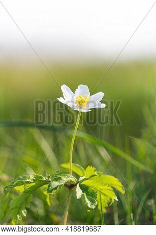 Anemone, Windflower, Ranunculaceae Flower In Nature Background