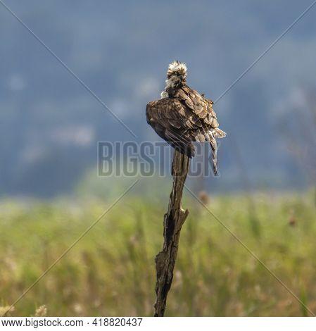 Osprey (pandion Haliaetus) Resting On A Vertical Log