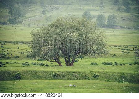 Green Alpine Scenery With Beautiful Willow Tree With View To High Mountain Wall With Trees. Vintage