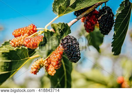 Mulberry Berries On The Branches. The Berries Of The Mulberry Tree. The Berries Look Like Scary Cate