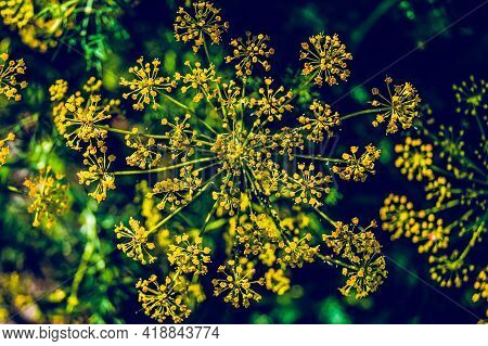 Dill Flower In The Summer Garden. Summer Harvest Of Herbs. Delicious Seasonings.