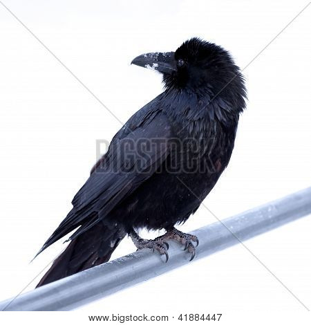 Common Raven Corvus corax perched on metal bar