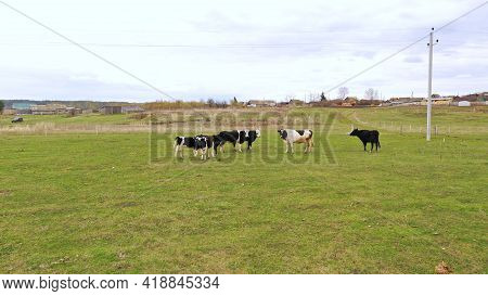 Calves With Black And White Fur Graze In A Clearing With Green Grass On A Summer Day. Cow With A Cal