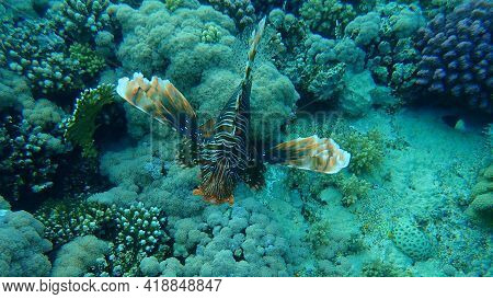 Common Lionfish Or Devil Firefish (pterois Miles) Undersea, Red Sea, Egypt, Sharm El Sheikh, Nabq Ba
