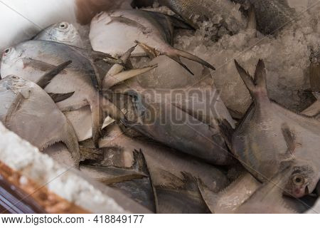 American Silver Pomfret Kept On Ice Ready To Export.