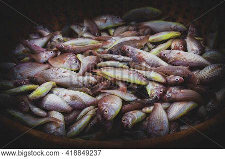 Collection Of Northern Red Snapper Fish Kept On A Fish Container For Auction.
