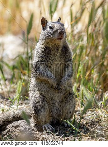 California Ground Squirrel Standing On Its Hind Legs To Improve Observation. Santa Clara County, Cal