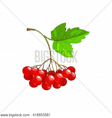 Viburnum Berries Bunch With Green Leaves Isolated Flat Cartoon Icon. Vector Viburnum Fruits Cluster,