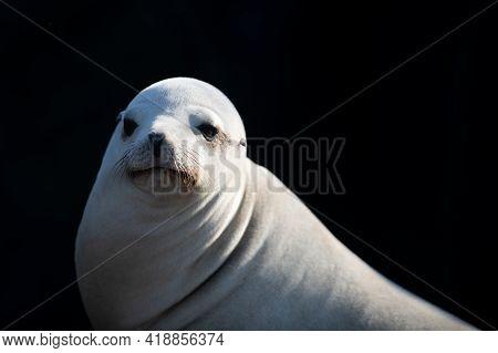 Closeup Of Antarctic Seal. Harbor Seal. Seals On The Rocks. Sea Lions On The Cliff At La Jolla Cove
