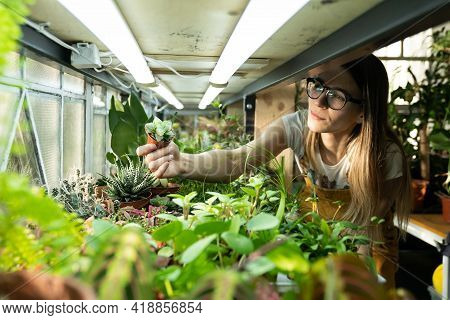 Growing Houseplants For Selling. Female Greenhouse Business Owner Work With Domestic Flower Seedling