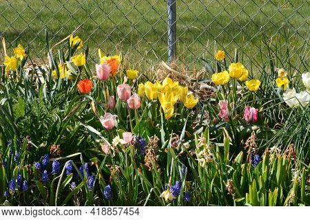 Spring Flowers Blooming In Garden In Front Of Chain Link Fence