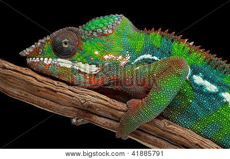 Portrait Of A Panther Chameleon