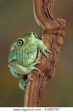 Waxy Tree Frog Portrait